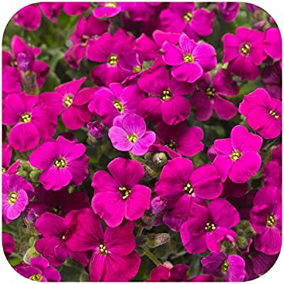 Aubrieta Trailing Aubretia /'Audrey Blue Shades/' Perennial Plug Plants x 6
