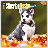 Siberian Husky Puppies 2016 Square 12x12