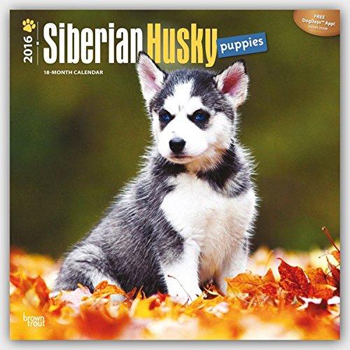 Siberian Husky Puppies 2016 Square 12x12