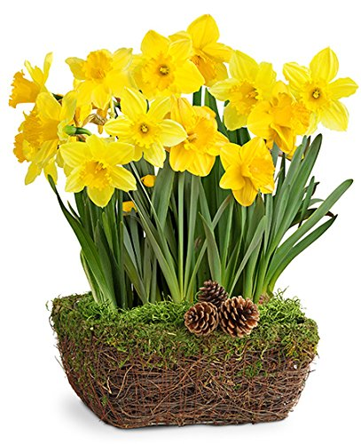 BloomingBulb 91150 Daffodil Dreams Basket Pre-Planted Bulb Gift - Bulb Basket