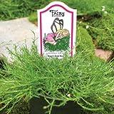 "Mandi's Irish Moss - Ideal for Fairy Gardens - Live Plant - 3"" Pot"