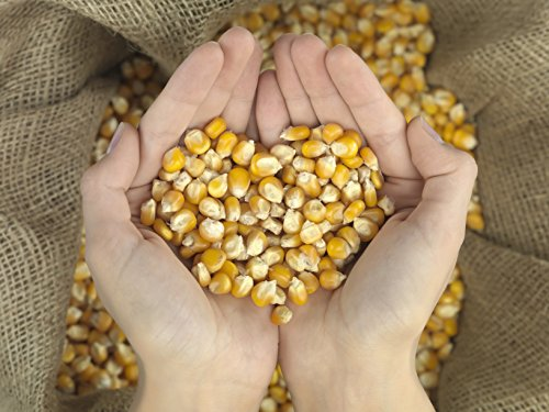 50 Pounds of Whole Kernel Corn Animal Feed Seed