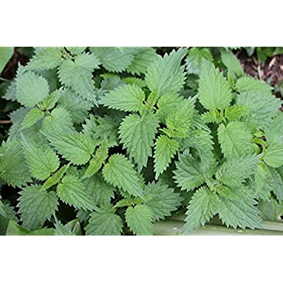 HEIRLOOM NON GMO Stinging Nettle 50 Seeds : Garden & Outdoor