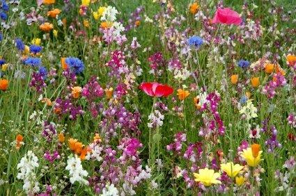 Irish Eyes Garden Seeds-Butterfly/Hummingbird Wildflower Mix-1/4lb