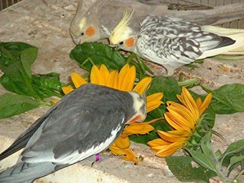 1kg Bird   Budgie Seeds Grow your own FRESH food (1kg)