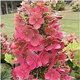 Ruby Slippers Oakleaf Hydrangea - Live Plants Shipped 1 to 2 Feet Tall by DAS Farms (No California)