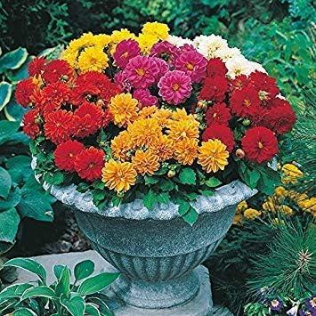 Potseed . Semillas de Flor de la Dalia Hortensis: Semillas Huerto de jardín (14 Paquetes) Semillas de Plantas de jardín: Amazon.es: Jardín