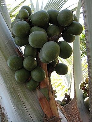 Tara-garden 5 seeds Bismarckia nobilis Silver Palm Fresh variety large fan type Awesome
