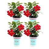 Costa Farms Live Mandevilla Outdoor Plant in in 1 QT Grower Pot, Red, 4 Pack