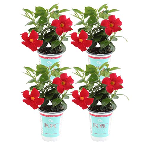 Costa Farms Live Mandevilla Outdoor Plant in in 1 QT Grower Pot, Red, 4 Pack by Costa Farms (Image #2)