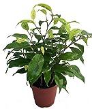 """Neon Weeping Fig Tree - Ficus benjamina - Easy to Grow - 4"""" Pot"""