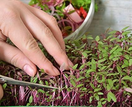 Microgreens - amaranto rojo - hojas jóvenes con un sabor único - semilla