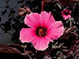Special Hibiscus Acetosella - Cranberry Hibiscus - Rare Tropical Plant Seeds (5)