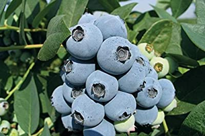 2 Collins Blueberry Plant - 2 Year All Natural Grown - Spring Planting