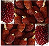 RED STRAWBERRY POPCORN Corn seeds - DECORATIVE PRETTY MAIZE - mahogany red kernels - 105 Days (0015 Seeds - 15 Seeds - Pkt.)