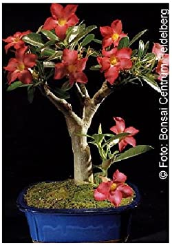 TROPICA - Rosa del desierto (Adenium obesum) - 8 semillas- Bonsâis