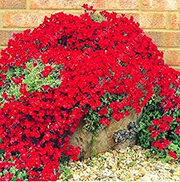 Creeping Red Thyme - ChinaMarket 100pcs/bag Creeping Thyme Red Seeds or seeds-Perennial Ground cover flower seeds