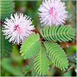 """Package of 100 Seeds, Sensitive Plant """"Compact Growth"""" (Mimosa Pudica) Non-GMO Seeds by Seed Needs"""