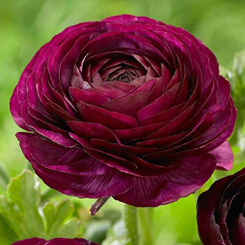 20 Ranunculus Bulbs,Purple Butter Cups, Deer and Rodent Resistant