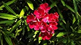 Oleander (red) Live Plant fit 5 Gallon Pot a.k.a Nerium oleander 'Red' w FREE Decorative Poly Bag w Customize Funny Garden Quote