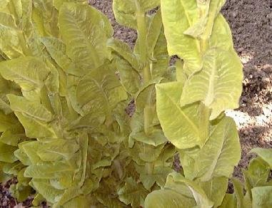 Endive Salad (Endive Salad King 5,000 seeds)