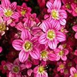 Casavidas Seeds Package: Saxifraga Arendsii Red / Rouge / Red