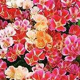 """2,000 Seeds, Godetia """"Farewell to Spring"""" (Clarkia amoena) Packaged By Seed Needs (Farewell To Spring)"""