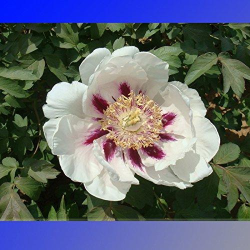 5 Semi Rare Hua Ban White Peony Fiore con Red Spot arbusto semi Hua Ban * Ambizu *