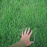 Outsidepride Buffalo Grass Seed - 2 LB