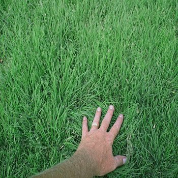 Outsidepride Drought Tolerant Buffalo Lawn Grass Seed - 2 LB by Outsidepride