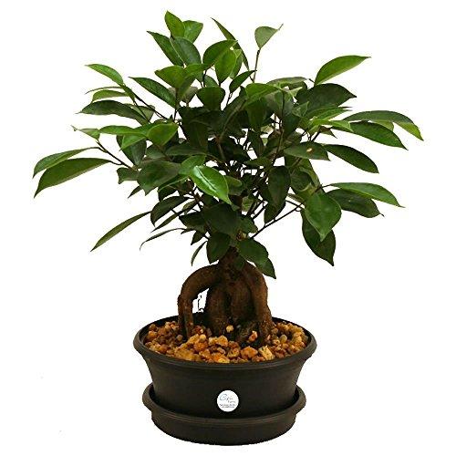Costa Farms Ficus Bonsai in Plastic Pot