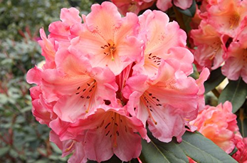 rhododendron-honey-butter-two-gallon-plant