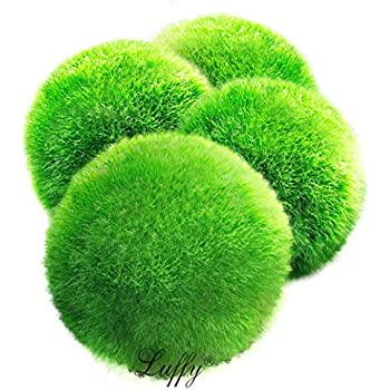 4 LUFFY Marimo Moss Balls - Aesthetically Beautiful & Create Healthy Environment - Eco-Friendly, Low Maintenance & Curbs Algae Growth - Shrimps & Snails ...