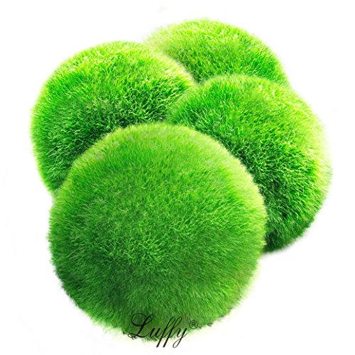 4 LUFFY Marimo Moss Balls – Aesthetically Beautiful & Create Healthy Environment – Eco-Friendly, Low Maintenance & Curbs Algae Growth – Shrimps & Snails Love Them