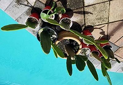 Large Healthy Prickly Pear, Cochineal Nopal Cactus, Nopalea Cochenillifera Plant For Your Rock Garden