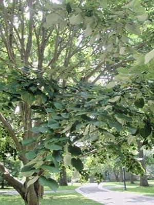 20 STERLING SLIVER LINDEN SEEDS - Tilia tomentosa 'Sterling'