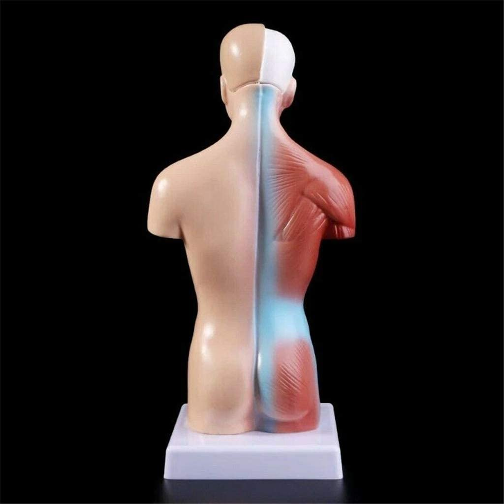 4D Anatomical Assembly Model of Human Organs for Teaching Education School Removable,4D-Vision Human Anatomy Model DIY Family Store Me-dical Anatomical
