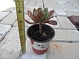 "Aeonium Arboreum ""VELOUR"" Succulent plant- healthy plant with roots # 16 A"
