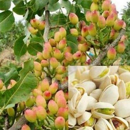 3 Pound (1362 grams) Raw pistachios Grade A from Xinjiang (新疆开心果)