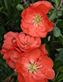 Double Take Chaenomeles 'Orange Storm' PPAF - Flowering Quince - Proven Winners