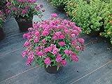 1 Starter Plant of Spiraea Neon Flash