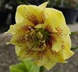 50+ HELLEBORUS SEEDS YELLOW / red winter blooming perennials,