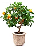 Small Tangerines Tree by Wallmonkeys Peel and Stick Graphic (24 in H x 19 in W) WM15513