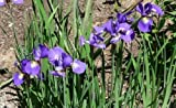 50 BLUE FLAG IRIS Versicolor Flower Seeds *Comb S/H