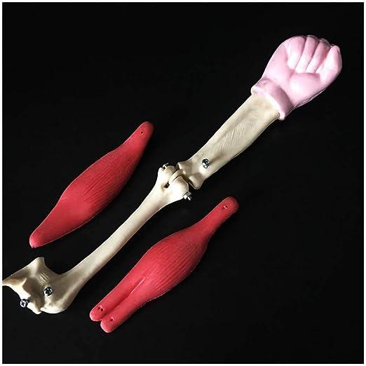 LBYLYH Modelo de articulación de Codo musculoso, Modelo ...