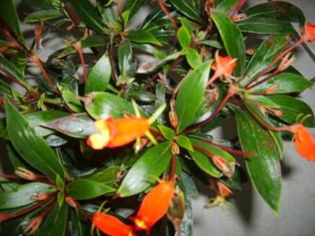 Amazon Com Bolivian Sunset Live Flowering Tropical Plant Orange