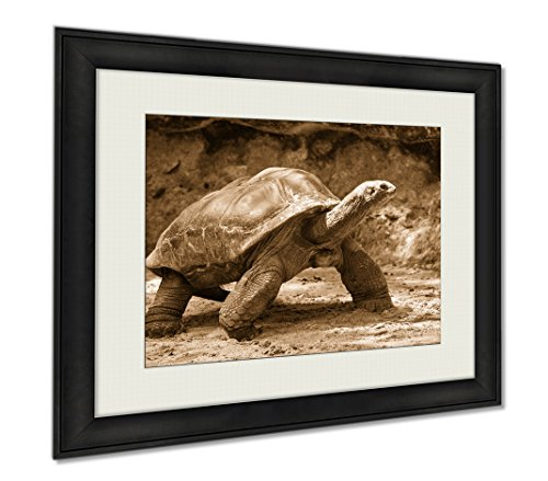 Ashley Framed Prints Giant Turtle, Wall Art Home Decoration, Sepia, 30x35 (frame size), - Tortoise For Sale Singapore
