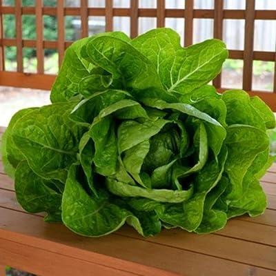 Heirloom Jericho Lettuce Seed 1,000+ Seeds