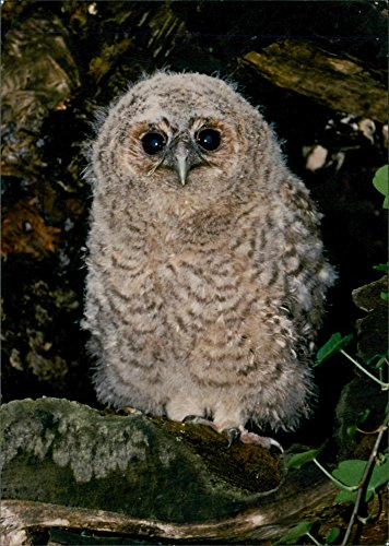 - Vintage photo of Birds : Young Tawny Owl
