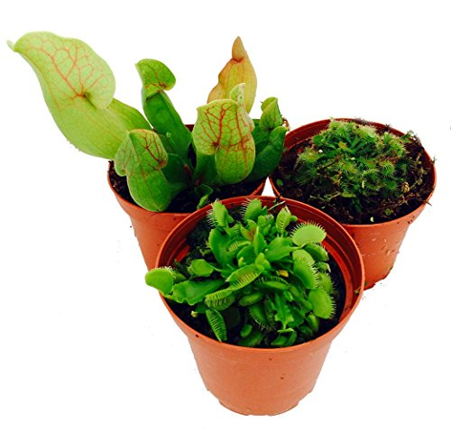 Carnivorous Terrarium Plants - Assortment of 3 Different Plants in 3